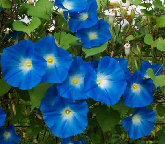 Psychoactive Heavenly Blue Morning Glory Seeds 100 Grams
