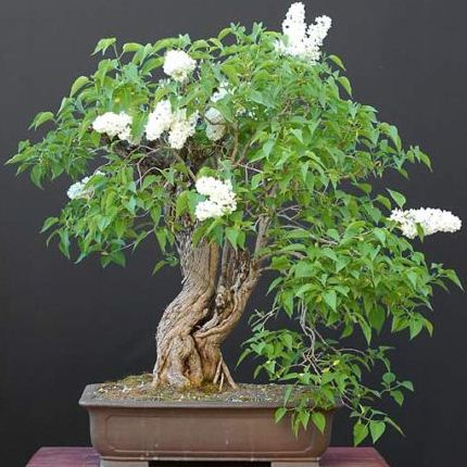 Seeds 5 Pekin Lilac Or China Snow Syringa Pekinensis Bonsai