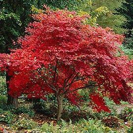 Deciduous 20 Acer Palmatum Japanese Maple Tree Seeds