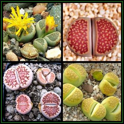 succulent names seeds 5 lithops hallii mixed forms seeds mesemb stoneplants