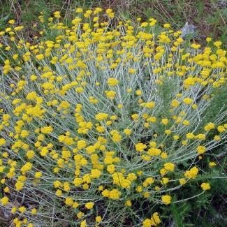Helichrysum cymosum Seeds Sow Autumn Indigenous Perennial Shrub Seeds ...