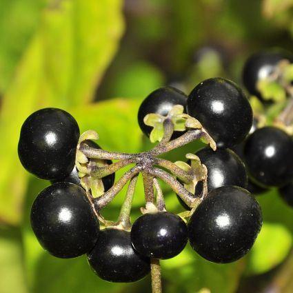 10 Solanum Guineense Seeds   Garden Huckleberry   Indigenous South African  Shrub Edible Fruit
