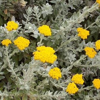 Helichrysum moeserianum Seeds - Buy Annual Flower Seeds Indigenous to ...
