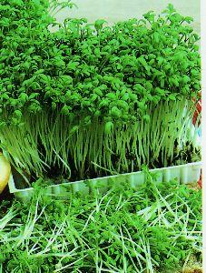 Other Plants Seeds Bulbs Garden Cress Seeds Lepidium