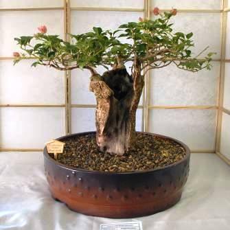 Baobab bonsai