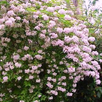 Dream Catcher Beauty Bush Seeds Dream Catcher Beauty Bush or Pink Cloud Seeds 10