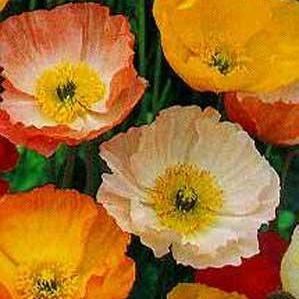 Bulk seeds 50 poppies iceland poppies flower seeds papaver 50 poppies iceland poppies flower seeds papaver nudicaule poppy perennial sow autumn spring mightylinksfo