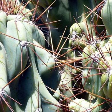 Seeds cereus peruvianus var monstrose seeds apple cactus cereus peruvianus var monstrose seeds apple cactus edible fruit cacti succulents fandeluxe Image collections