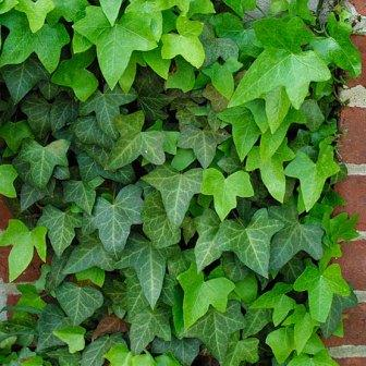 Wall Creepers Plants South Africa Garden Design Ideas