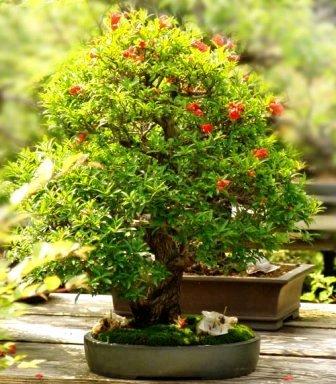 seeds 5 dwarf pomegranate bonsai seeds punica granatum. Black Bedroom Furniture Sets. Home Design Ideas