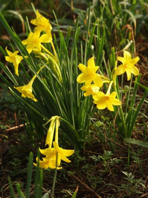 Flower bulbs roots corms 7 bulbs per unit r20 new chlidanthus peruvian daffodil spring flowering fandeluxe Choice Image