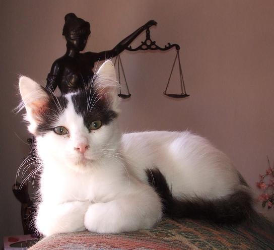 Turkish van kittens sale