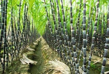 Sugar Cane - Saccharum Officinarum - Edible & Ornamental Vegetable - 5  Seeds | bidorbuy co za