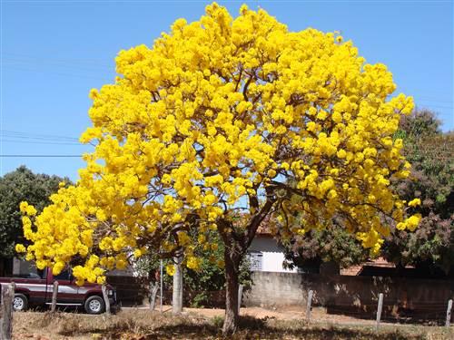 Fruit Flowering Tabebuia Aurea Silver Trumpet Tree Exotic