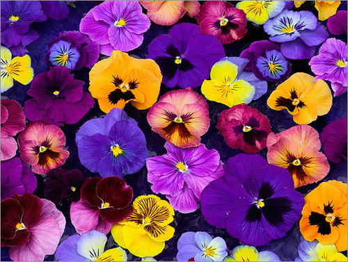 Brighten up your garden with pansies and viola