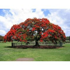 Bonsai Royal Poinciana Tree 10 Delonix Regia Seeds Was Listed For R15 00 On 17 Jan At 10 26 By Lavenderhaven In Bedford Id 449604388
