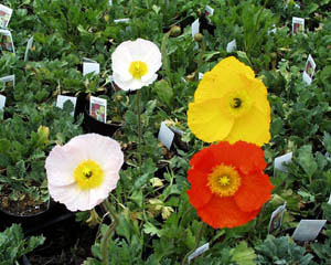 Annuals san remo poppy seeds 2 grams bulk poppy seeds for sale poppy san remo mix mightylinksfo
