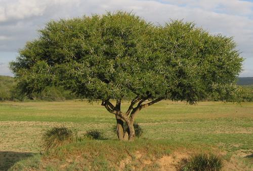 Acacia Karroo Seeds 10 Acacia Karoo Seeds