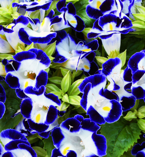 TORENIA SEEDS KAUAI BLUE/WHITE