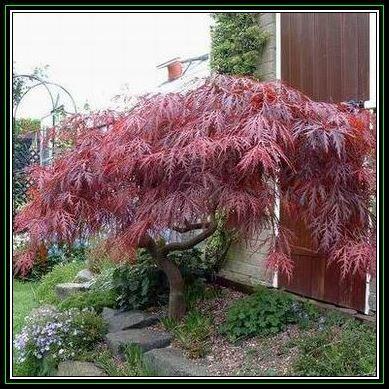 Deciduous Acer Palmatum Atropurpureum Dissectum Seeds Red Lace