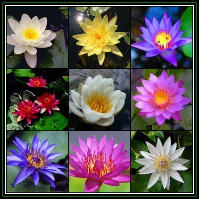 Seeds 100 Water Lily Seeds Mixed Species Varieties And Colours