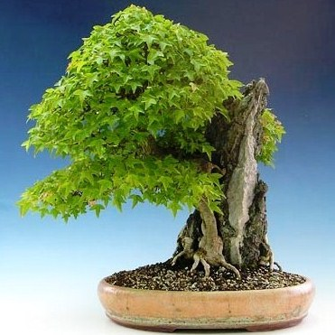 Seeds Acer Buergerianum Or Trident Maple Bonsai Tree Seeds Free