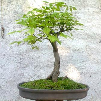 Seeds 5 Acer Negundo Boxelder Maple Bonsai Seeds Free Bonsai