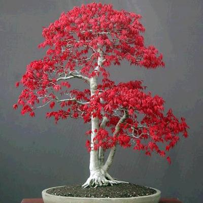Seeds Acer Palmatum Japanese Maple Bonsai Seeds Free Bonsai