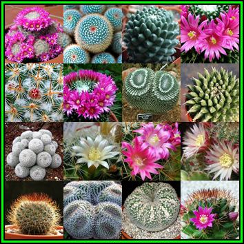 Other cacti succulents mammillaria mixed species 50 bulk seed mammillaria mixed species 50 bulk seed pack exotic succulent cactus new fandeluxe Image collections
