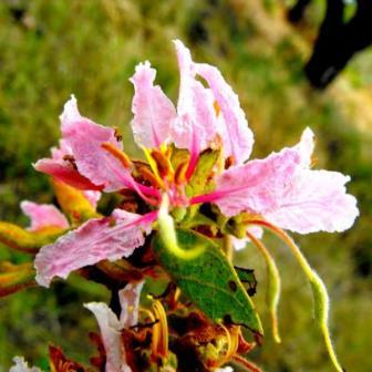 Seeds bauhinia urbaniana seeds pink bauhinia or sandbeesklou there is also the yellow bauhinia or bosbeesklou bauhinia tomentosa a large shrub or small tree with bell shaped yellow flowers mightylinksfo