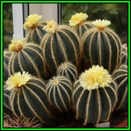 Seeds parodia magnifica 10 seed pack verified seller exotic parodia magnifica 10 seed pack verified seller exotic succulent cactus new fandeluxe Image collections
