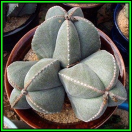 Seeds astrophytum myriostigma 10 seed pack verified seller astrophytum myriostigma 10 seed pack verified seller exotic succulent cactus new fandeluxe Image collections