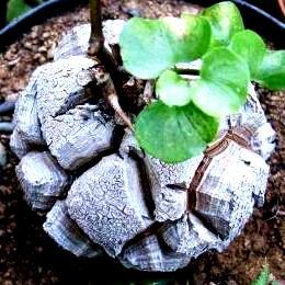 10 Elephant S Foot Dioscorea Elephantipes Seeds Gifts Indigenous Succulents