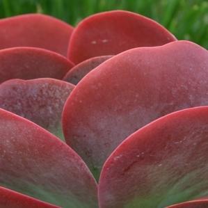 desert rose plant care instructions
