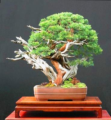other bonsai pinus mugo var pumilio or dwarf mugo pine bonsai tree seeds was sold for. Black Bedroom Furniture Sets. Home Design Ideas