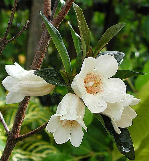 Evergreen 10 rothmannia globosa seeds september bells bell small everblooming tree with glossy leaves and off white bell shaped flowers very fragrant the fragrance is stronger than gardenia mightylinksfo