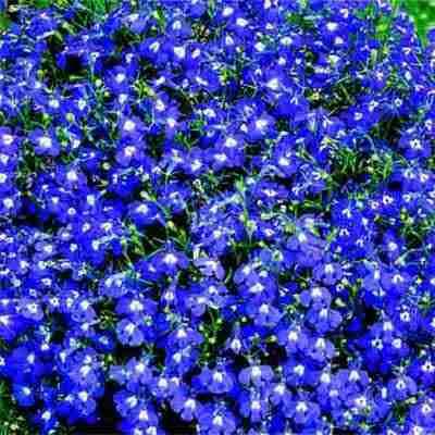 Flowers Lobelia Seeds Riviera Blue Eyes 200 Lobelia Seeds Was