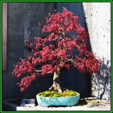 Bonsai Acer Palmatum Atropurpureum Dissectum 5 Seeds Free