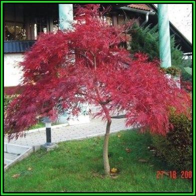 Trees Acer Palmatum Atropurpureum Dissectum 5 Seeds Red Lace