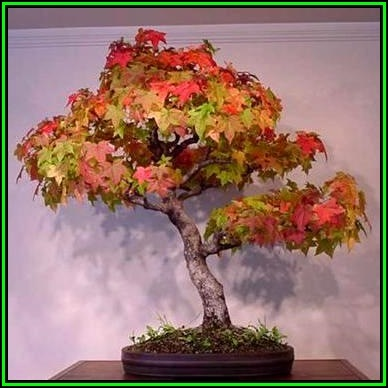 Bonsai Acer Rubrum Red Maple Red Swamp Maple Bonsai 10 Seeds