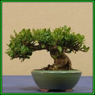 Gardenia Jasminoides   Cape Jasmine Bonsai Seeds + FREE Gifts Seeds + Bonsai  EBook, NEW