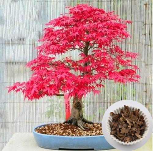 bonsai in gauteng value forest. Black Bedroom Furniture Sets. Home Design Ideas